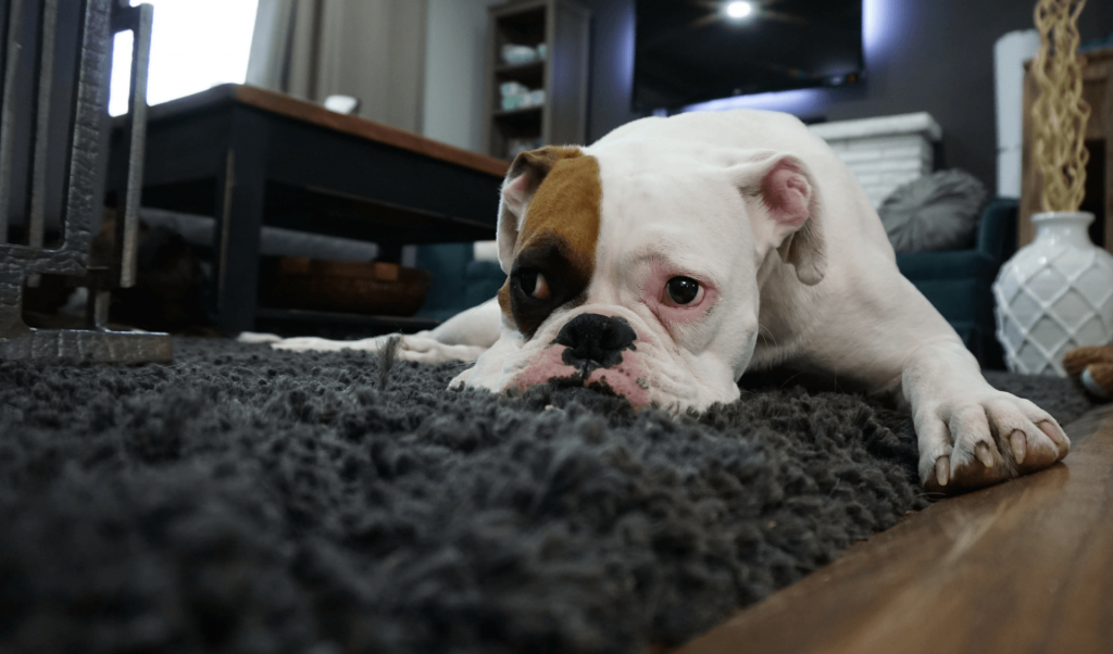 White bulldog lying on a carpet looking sad.