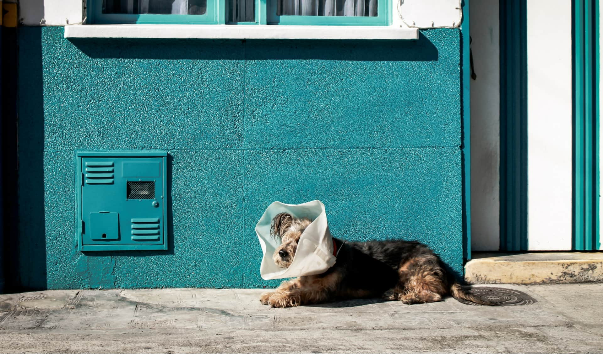 Dog lying in the street with a medical cone.