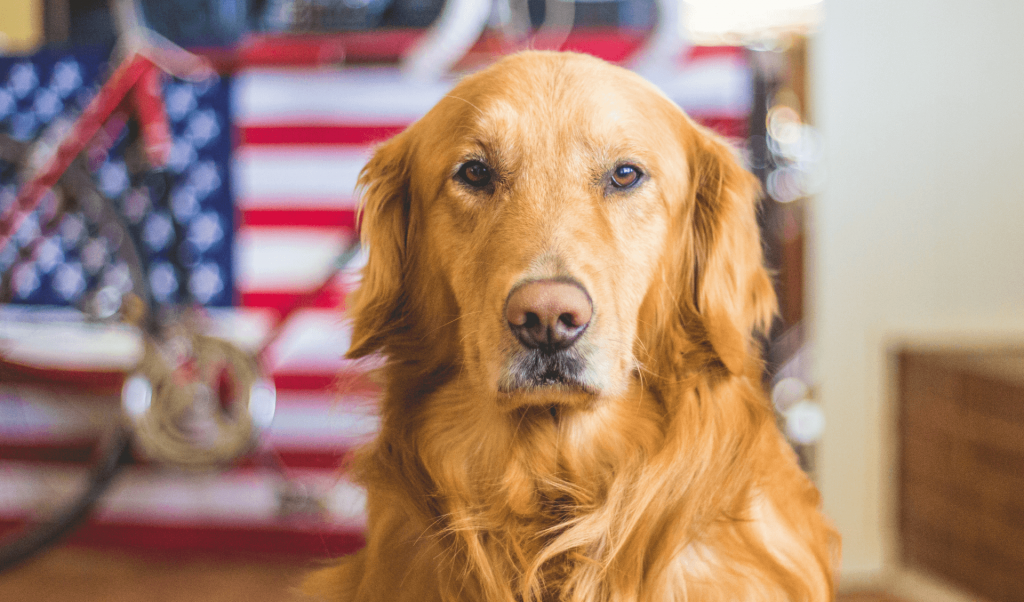 Golden retriever sitting in front of an American flag.